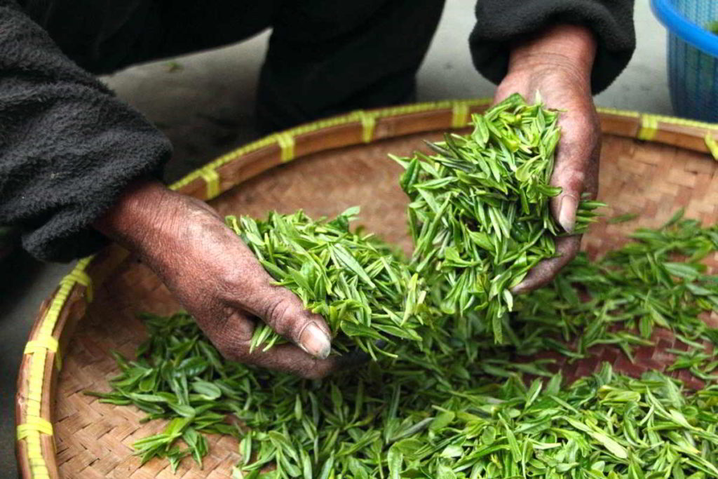 green tea picking